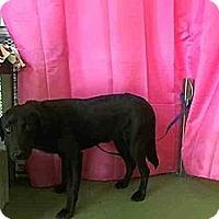 Adopt A Pet :: Caleb - West Los Angeles, CA