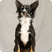 Chihuahua Dog for adoption in Crescent, Oklahoma - Tiny Tot