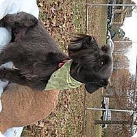 Adopt A Pet :: Kramer the Schnoodle - Crystal River, FL