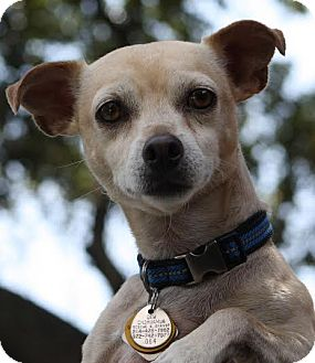 Chihuahua/Dachshund Mix Dog for adoption in Dallas, Texas - Logan
