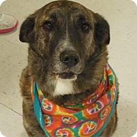 Adopt A Pet :: Sheba - Ormond Beach, FL