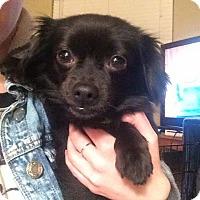 Adopt A Pet :: Rocket - Seattle, WA