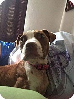 Boxer Mix Dog for adoption in Staunton, Virginia - Iris