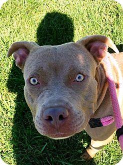 Terrier (Unknown Type, Medium)/American Pit Bull Terrier Mix Dog for adoption in Fulton, Missouri - Coal- Ohio