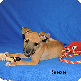 Black Mouth Cur Mix Puppy for adoption in Slidell, Louisiana - Reese