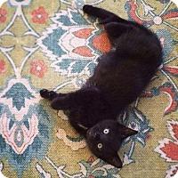 Adopt A Pet :: Midnight Moon - Brooklyn, NY