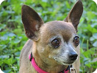 Chihuahua Dog for adoption in Franklin, Tennessee - PEANUT