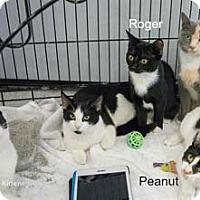 Adopt A Pet :: Peanut - Merrifield, VA