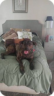 Pit Bull Terrier/Catahoula Leopard Dog Mix Dog for adoption in Windermere, Florida - Valkry
