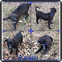 Adopt A Pet :: Rambo 1-in CT - Manchester, CT