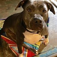 Adopt A Pet :: Tie - Los Angeles, CA