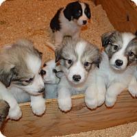Adopt A Pet :: Pyrenees Crew - Peyton, CO
