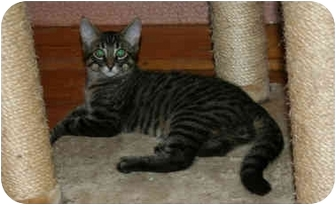 Domestic Shorthair Kitten for adoption in Montreal, Quebec - Rod
