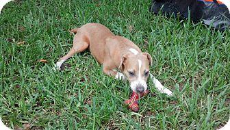Labrador Retriever/Jack Russell Terrier Mix Dog for adoption in Orlando, Florida - Blade