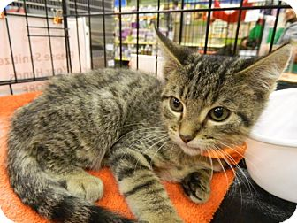 Domestic Shorthair Kitten for adoption in The Colony, Texas - Sorento