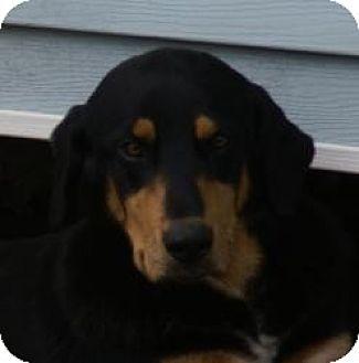 Coonhound/German Shepherd Dog Mix Dog for adoption in Oakland, Arkansas - Ely