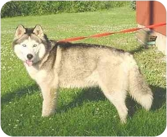 Siberian Husky Dog for adoption in Austin, Minnesota - Nakita