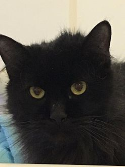 Domestic Longhair Cat for adoption in Bourbonnais, Illinois - Otis
