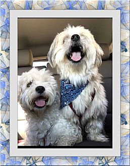 Bichon Frise Mix Dog for adoption in Tulsa, Oklahoma - Moose and Widget - TX