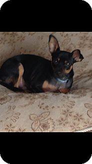 Miniature Pinscher Mix Dog for adoption in Loxahatchee, Florida - Robbie