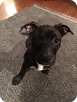 Pit Bull Terrier/Dachshund Mix Puppy for adoption in Vancouver, Washington - Lucy