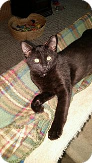 Domestic Shorthair Cat for adoption in Warren, Michigan - Leon