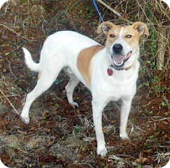 Greyhound/Pointer Mix Dog for adoption in Allentown, New Jersey - Toby