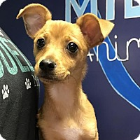 Chihuahua/Terrier (Unknown Type, Medium) Mix Puppy for adoption in Raytown, Missouri - Copper