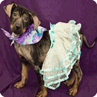 Adopt A Pet :: Hailey - Fort Collins, CO