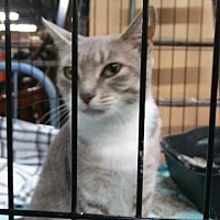 Domestic Shorthair Cat for adoption in Raleigh, North Carolina - Kitt