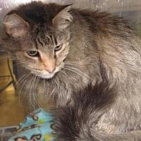 Domestic Longhair Cat for adoption in Logan, Utah - Gloria