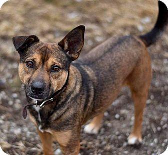 Shepherd (Unknown Type)/Beagle Mix Dog for adoption in Indianapolis, Indiana - Milton