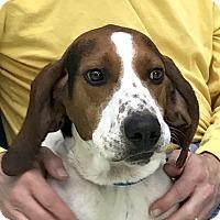 Treeing Walker Coonhound Dog for adoption in Evansville, Indiana - Boogie