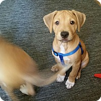 Beagle/Labrador Retriever Mix Puppy for adoption in New York, New York - Cuso