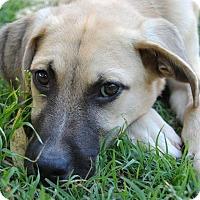 Adopt A Pet :: Bodhi - Austin, TX