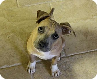 American Pit Bull Terrier Mix Puppy for adoption in Mesa, Arizona - Enola