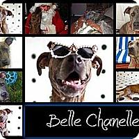 Adopt A Pet :: Belle - Missouri City, TX