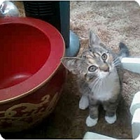 Adopt A Pet :: Tiger & White Kitten - Alliance, OH