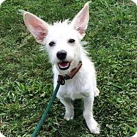 Adopt A Pet :: Bogie - Mission Viejo, CA