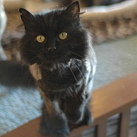Domestic Longhair Cat for adoption in MARENGO, Illinois - Sheba