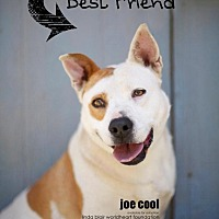 Adopt A Pet :: Joe Cool - Toluca Lake, CA