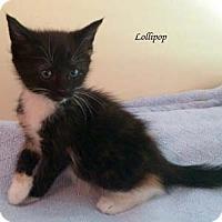 Adopt A Pet :: Lollipop - Merrifield, VA