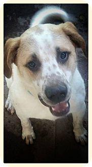 Australian Shepherd/St. Bernard Mix Dog for adoption in Union City, Tennessee - Baxter