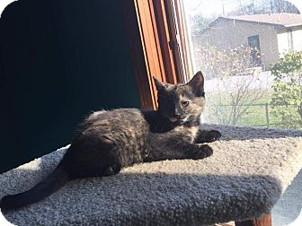 Domestic Shorthair Kitten for adoption in Highland, Indiana - SHIRLEY