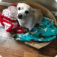 Dachshund/Chihuahua Mix Dog for adoption in Scottsdale, Arizona - Courtesy post-Tucker