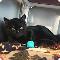 Domestic Shorthair Cat for adoption in Chippewa Falls, Wisconsin - Pancake