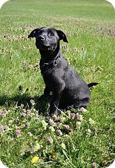 Labrador Retriever/Terrier (Unknown Type, Medium) Mix Puppy for adoption in Rockville, Maryland - Baby Wanda