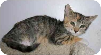 Domestic Shorthair Kitten for adoption in Odenton, Maryland - Clara