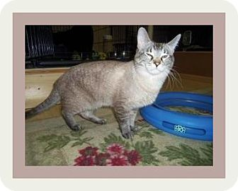 Siamese Cat for adoption in Medford, Wisconsin - MR. KITTY