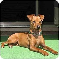 Adopt A Pet :: Becket - Phoenix, AZ